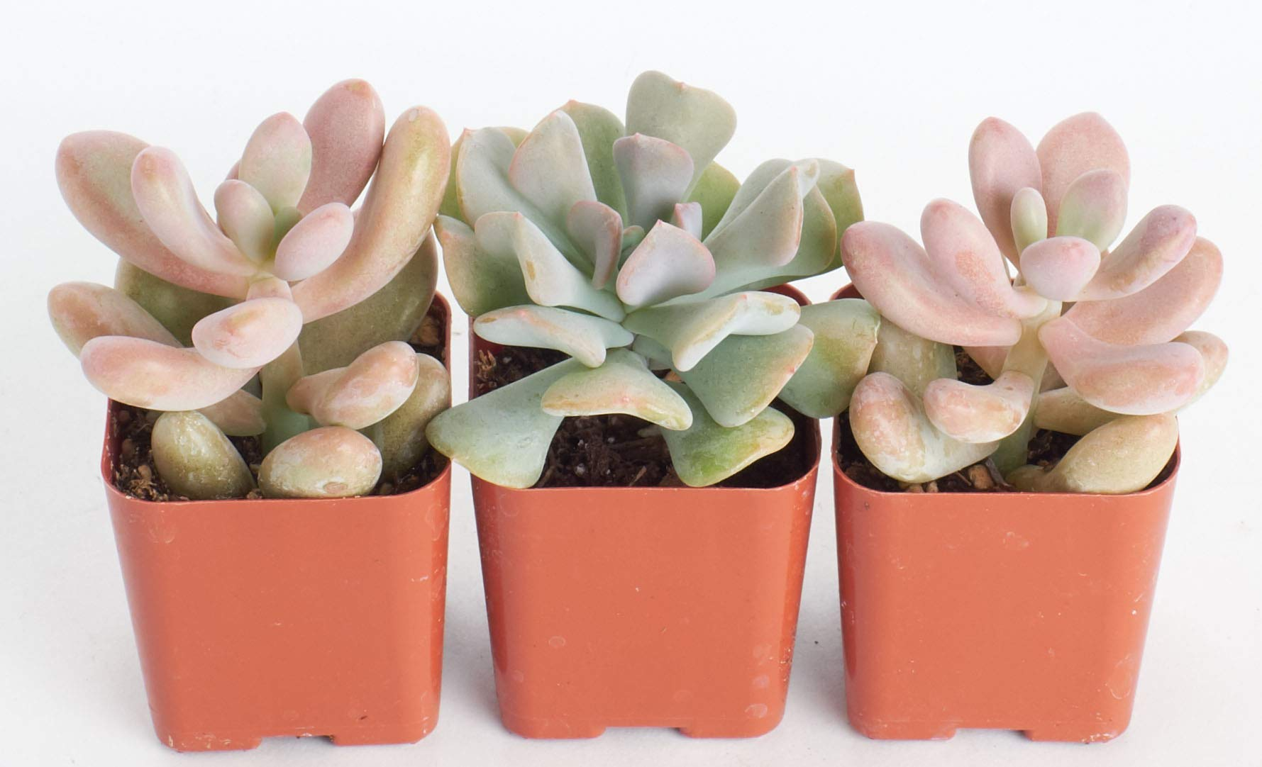 Shop Succulents | It's A Girl! Pink Collection of Live Succulent Plants, Hand Selected Variety Pack of Mini Succulents in Pastel Pink Colors | Collection of 3