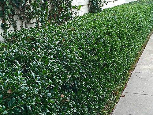 Dwarf Burford Holly Ilex Qty 40 Live Plants Evergreen Burfordi Shrub by Florida Foliage (Image #2)