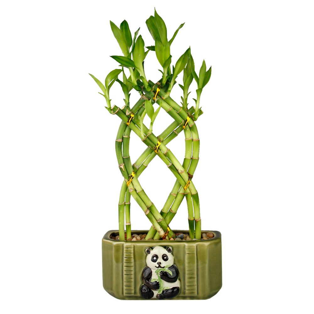 NW Wholesaler - Live Lucky Bamboo 8 Stalk Braided Trellis with Green Ceramic Panda Design Planter
