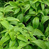 African Tree Basil Seeds (Ocimum gratissimum) 50+ Rare Organic Medicinal Herb Seeds in FROZEN SEED CAPSULES for The Gardener & Rare Seeds Collector - Plant Seeds Now or Save Seeds for Years