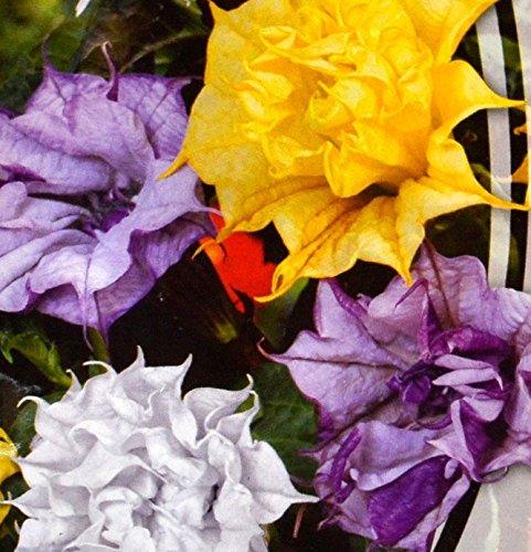 (Datura metel terry mix Flower Seeds annuals from Ukraine)