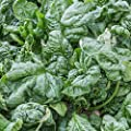 Organic Bloomsdale Spinach Seeds - Long Standing - Heirloom, Non-GMO Gardening Seeds - Microgreens and Salad Garden
