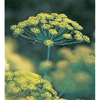 Tiyuki Dill Seed, Bouquet, Heirloom, Organic, Non GMO, 100 Seeds, HERB, Spice Seeds : Garden & Outdoor