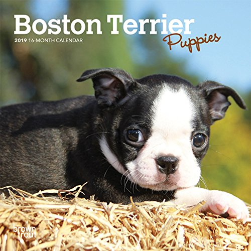 Buy now Boston Terrier Puppies 2019 7 x 7 Inch Monthly Mini Wall Calendar, Animals