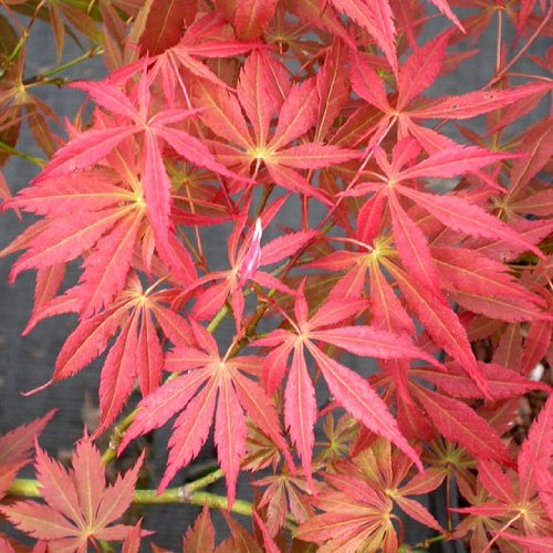 Oshu Shidare- Radiant Pink Japanese Maple 2 - Year Live Plant by Japanese Maples and Evergreens