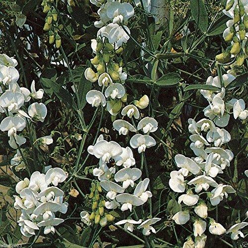 Perennial Sweet Pea - Pearl White - Lathyrus latifolius ~30 Seeds~ -