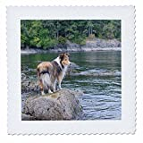 Danita Delimont - Canada - British Columbia, Portland Island. Sheltie on rocks at Arbutus Point - 12x12 inch quilt square (qs_226866_4) offers