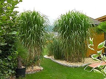 10 Pflanzen Töpfe Riesen Chinaschilf Bambus SCHILF Gräser ...