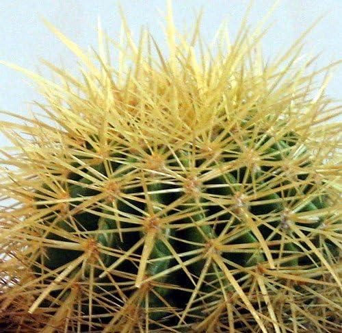Golden Barrel Cactus – Echinocactus grusonii – 4 pot
