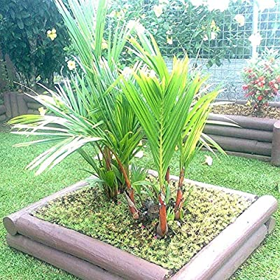 Mggsndi 100Pcs Cyrtostachys Tree Seeds Plant Home Garden Balcony Yard Bonsai Decor - Heirloom Non GMO - Seeds for Planting an Indoor and Outdoor Garden Palm Tree Seeds : Garden & Outdoor