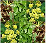 MOUNTAIN CELERY Seed - LOVAGE HERB SEEDS - Levisticum officinale - Leaves Used In Soups & Salads - TEA USED AS ANTISEPTIC - Zone 4 - 8 (03000 Seeds - 1/4 oz)