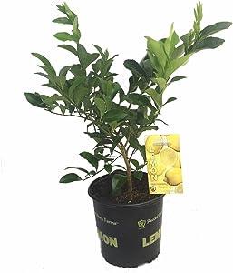 "Meyer Lemon Tree - Fruiting Size/Branched Tree -8"" Pot-No Ship TX,FL,AZ,CA,LA,HI"