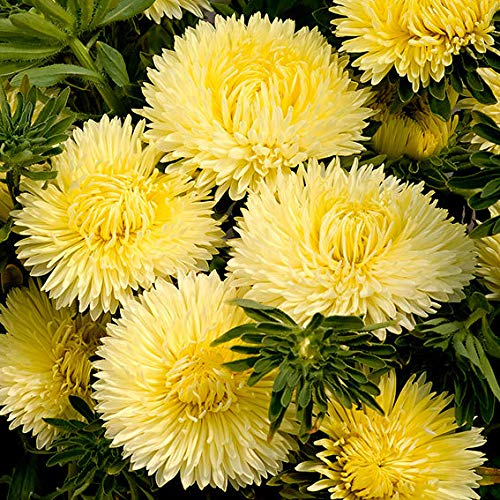 Caiuet Garden-40 Pcs Rare Chrysanthemum Seeds Organic Flowers Seeds Perennial Hardy Seeds Plants Perennials Daisy Seeds Blend Bonsai Flower Seeds Flower sea for Balcony