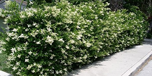 Ligustrum Japonicum 'Recurvifolium' - Curled Leaf Privet - Qty 40 Live Plants - Evergreen Privacy Hedge