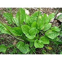 Seeds Broadleaf Plantain (Plantago major) Organic Medical Plant Seed