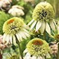 'Coconut Lime' Echinacea, 100 Seeds, coneflower single row of green out petals w/ a cluster of green flocky orange center petals