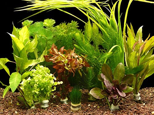 Zoomeister-Verschiedene-Bund-Wasserpflanzen-Set