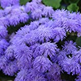 Ageratum - Blue Hawaii 5.0 Flower Garden Seeds - Approx 1000 Seeds - Ageratum houstonianum - Improved