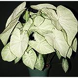 Caladium Garden White 3 Bulbs