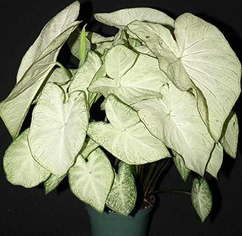 Caladium Garden White 3 Bulbs (Variegated White Tulip)