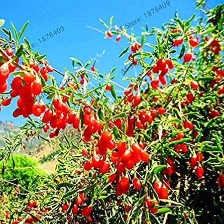 Amazon Com Wanchen 100pcs Pack Goji Berry Wolfberry Bonsai