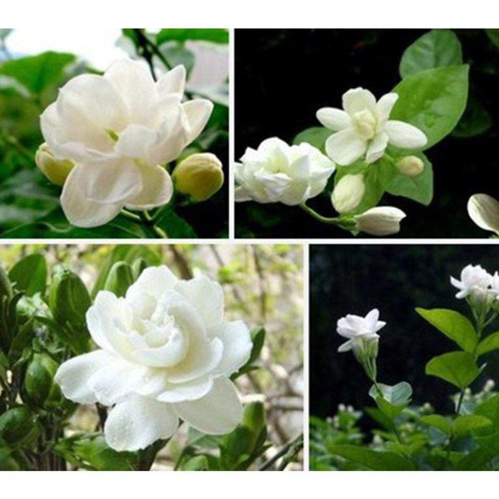 1 Bag Jasmine Flower Seeds Woopower 20 Pcs Beauty Perennial Heath