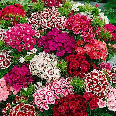 Sweet William Seeds - Indian Carpet Dwarf Single Mix - Packet, Mixed Red/White/Pink Flowers