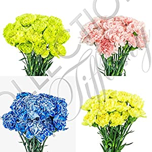 Fresh Carnation Flowers for Garland, Floral Arrangement, Birthday, Anniversary & Funeral 25stems per Bunch Long Lasting 76
