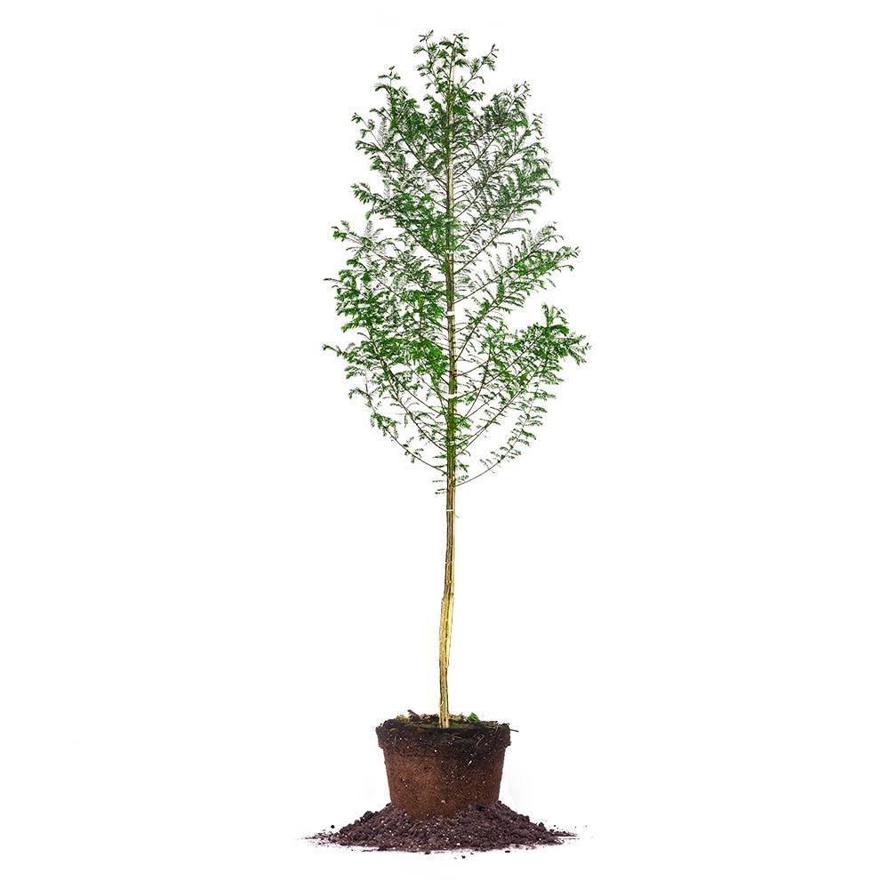 BALD CYPRESS - Size: 5-6 ft, live plant, includes special blend fertilizer & planting guide