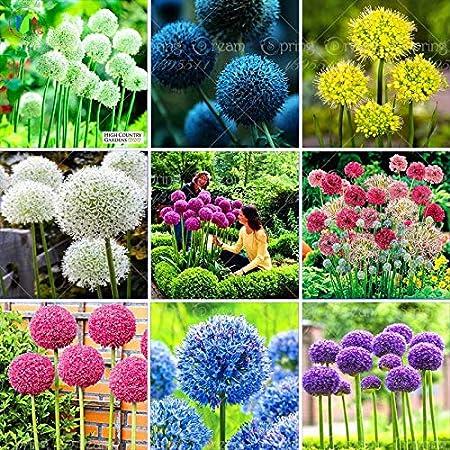Amazon Com 100 Purple Giant Allium Giganteum Beautiful Flower