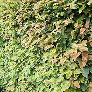 Hainbuchenhecke Weißbuche  Wurzelware 50 bis 80 cm carpinus betulus 50 St