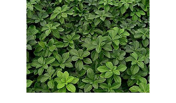 Amazon.com: Pachysandra terminalis -Japanese Spurge, is an evergreen