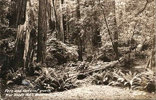 Fern and Redwood Growth, Muir Woods National Monument Mill Valley, California Original Vintage - Old Growth Redwood