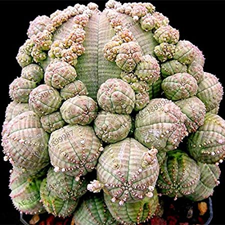 Amazon Com New Beautiful Steno Ball Euphorbia Obesa Bonsai