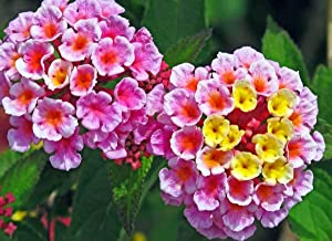 Daisy Garden 50 Pcs Seeds Lantana Camara Flower for Patio Garden