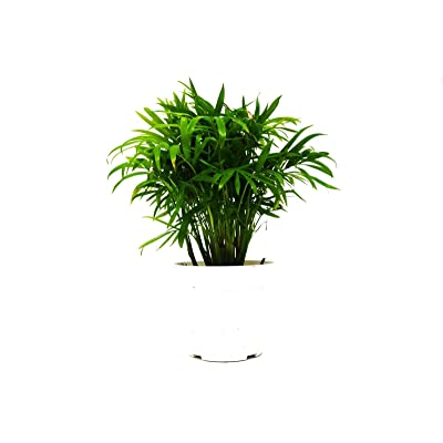 """Parlor Palm in 4"""" Pot - Live Indoor Plant - Free Care Guide : Garden & Outdoor"""