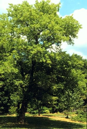 Amazoncom 100 Seeds Of Acer Negundo Boxelder Maple Tree Seeds