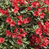 Zwerg-Rhododendron Baden Baden Ø 20-25 cm 2 L Co.