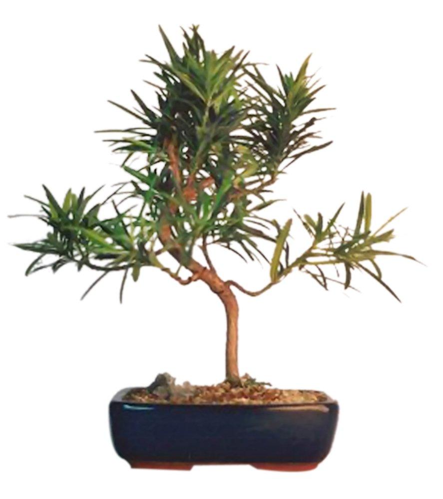 Amazon Com Bonsaiboy Flowering Podocarpus Bonsai Tree Styled Medium Podocarpus Macrophyllus Bonsai Plants Grocery Gourmet Food