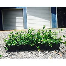 Asiatic Jasmine Minima Qty 60 Live Plants Asian Groundcover (Fully Rooted With Soil)