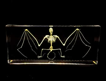 Bat Taxidermy+Bat Skeleton Real Bat Taxidermy and Bat Skeleton Specimens Science Classroom Specimen for Science Education