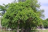 1000 Osage Orange Tree Seeds, Maclura Pomifera