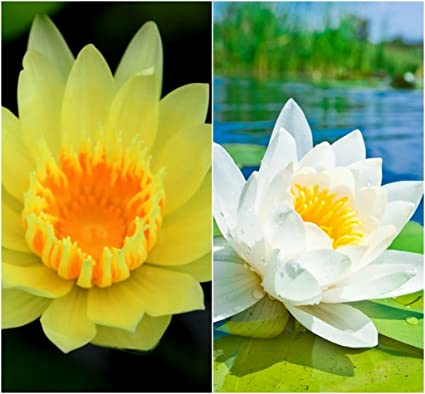 Bee Garden Lotus Flower Seeds 10pcs Yellow White Colors Amazon