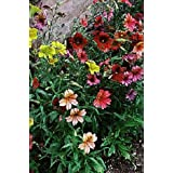 200 PAINTED TONGUE MIXED COLORS Velvet Trumpet Salpiglossis Seeds *Combined Ship