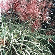 10 RED MAIDEN GRASS Miscanthus Sinensis Plumes Ornamental Flower Seeds *Comb S/H