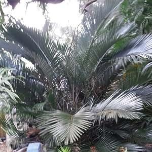 Sugar Palm Dwarf Plant Arenga engleri live 7 gal