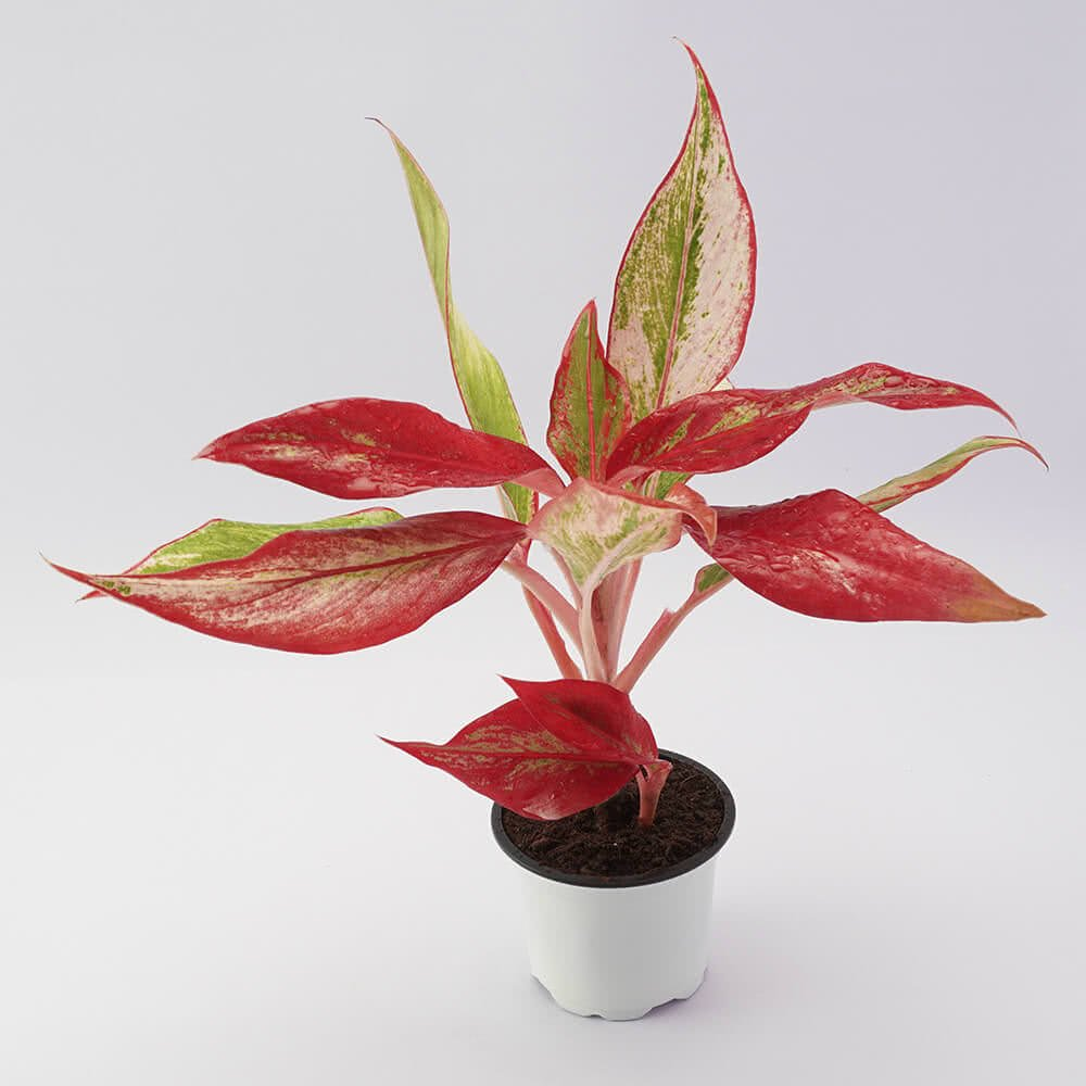 Ugaoo Aglaonema Red Natural Live Plant With Pot