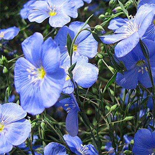 40pcs Blue Linen Flower Seeds, Purple Starry Regatta Series Hanging Varieties Seeds, for Garden Window - Regatta Series