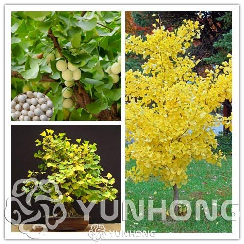 5pcs Ginkgo Bonsai Unique Species of Maidenhair Tree Bonsai Widely Cultivated Ginkgo Fruit Bonsai