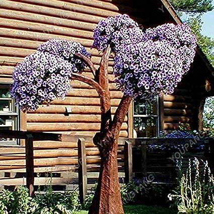 100pcs//bag Petunia bonsai Rare Round Petunia Tree bonsai Bonsai Flower bonsai